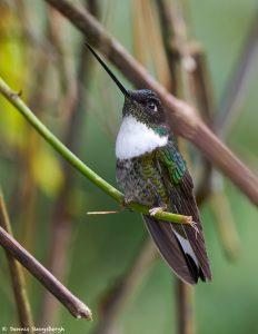 9108 Female Collard Inca (Coeligena torquata), Guango Lodge, Ecuador