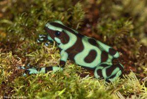 9174 Green-and-Black Poison Dart Frog (Dendrobates auratus), Laguna del Lagarto Lodge, Costa Rica