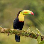 9192 Keel-billed Toucan (Ramphastois sulfuratus), Costa Rica