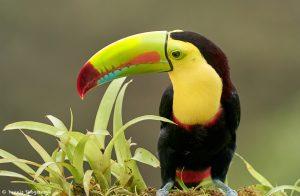 9193 Keel-billed Toucan (Ramphastois sulfuratus), Costa Rica