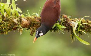 9194 Montezuma Oropendola (Psarocolius montezuma), Laguna del Lagarto Lodge, Costa Rica
