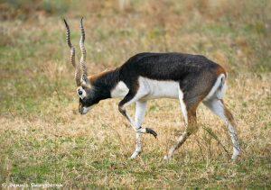 9227 Blackbuck (Antilope cervicapra), Fossil Rim, Texas