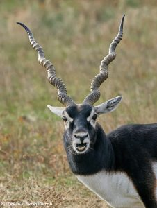 9228 Blackbuck (Antilope cervicapra), Fossil Rim, Texas