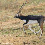 9230 Blackbuck (Antilope cervicapra), Fossil Rim, Texas
