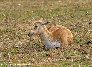 9232 Blackbuck Immature (Antilope cervicapra), Fossil Rim, Texas
