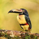 9197 Collared Aracari (Pteroglossus toequatus), Laguna del Lagarto Lodge, Costa Rica
