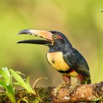 9198 Collared Aracari (Pteroglossus toequatus), Laguna del Lagarto Lodge, Costa Rica