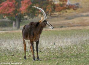 9235 Roan Antelope (Hippotragus equinus), Fossil Rim, Texas