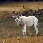 9236 Arabian Oryx (Oryx leucoryx), Fossil Rim, Texas