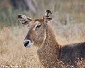 9237 Female Waterbuck (Kobus ellipsiprymnus), Rossil Rim, Texas