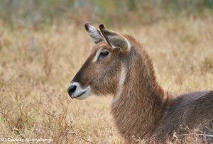 9239 Female Waterbuck (Kobus ellipsiprymnus), Rossil Rim, Texas