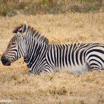 9242 Hartmann's Mountain Zebra (Equus zebra hartmannae), Fossil Rim, Texas