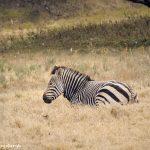 9243 Hartmann's Mountain Zebra (Equus zebra hartmannae), Fossil Rim, Texas