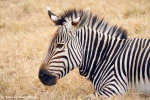 9244 Hartmann's Mountain Zebra (Equus zebra hartmannae), Fossil Rim, Texas