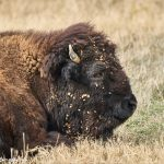 9245 American Bison, Fossil Rim, Texas