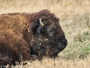 9245 American Bison, Fossil Rim, Texas