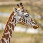 9248 Giraffe (Giraffe camelopardalis reticulata), Fossil Rim, Texas
