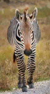 9250 Hartmann's Mountain Zebra (Equus zebra hartmannae), Fossil Rim, Texas