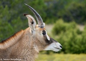 9251 Roan Antelope (Hippotragus equinus), Fossil Rim, Texas