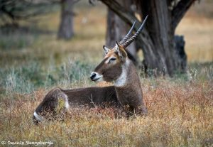 9254 Male Waterbuck (Kobus ellipsiprymnus), Rossil Rim, Texas