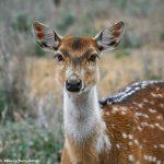 9255 Axis Deer (Axis axis), Fosil Rim, Texas