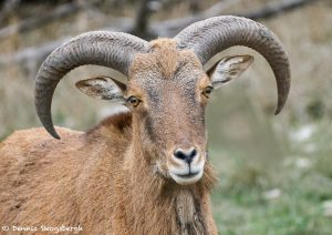 9257 Aoudad (Ammotragus lervia), Fosil Rim, Texas