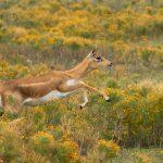 9260 Blackbuck (Antilope cervicapra), Fossil Rim, Texas