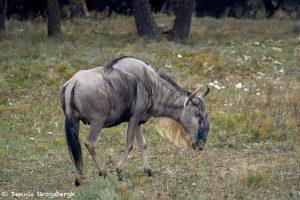 9261 Blue Wildebeest (Connochaetes taurinus), Africa native. Fossil Rim, Texas