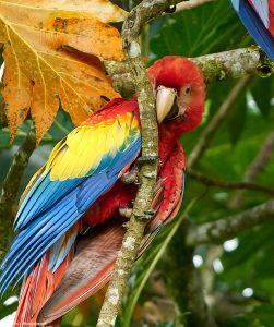 9205 Scarlet Macaw (Ara macao), Costa Rica