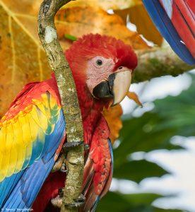 9206 Scarlet Macaw (Ara macao), Costa Rica