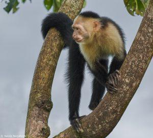 9207 White-Faced (Capuchin) Monkey (Cebus capucinus), Costa Rica