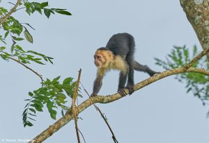 9208 White-Faced (Capuchin) Monkey (Cebus capucinus), Costa Rica