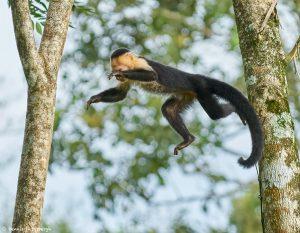 9209 White-Faced (Capuchin) Monkey (Cebus capucinus), Costa Rica