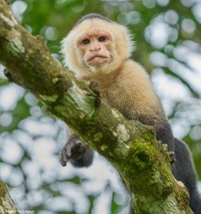 9210 White-Faced (Capuchin) Monkey (Cebus capucinus), Costa Rica