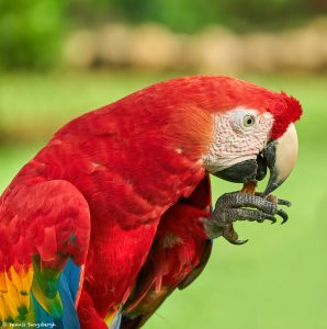 9212 Scarlet Macaw (Ara macao), Costa Rica