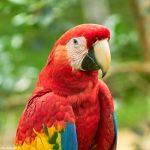 9213 Scarlet Macaw (Ara macao), Costa Rica