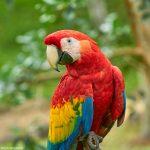 9214 Scarlet Macaw (Ara macao), Costa Rica