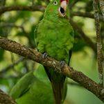 9216 Crimson-fronted Parakeet (Aratinga finschi), Costa Rica