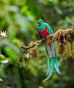 9217 Resplendent Quetzal (Pharomachrus mocinno), Costa Rica