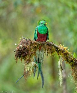 9218 Resplendent Quetzal (Pharomachrus mocinno), Costa Rica