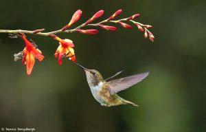 9220 Volcano Hummingbird (Selasphorus flammula), Costa Rica