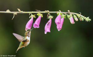 9221 Volcano Hummingbird (Selasphorus flammula), Costa Rica