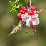 9222 Volcano Hummingbird (Selasphorus flammula), Costa Rica