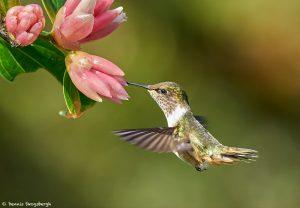 9223 Volcano Hummingbird (Selasphorus flammula), Costa Rica