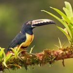 9195 Collared Aracari (Pteroglossus toequatus), Laguna del Lagarto Lodge, Costa Rica