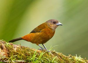 9224 Female Scarlet-rumped Tanager (Ramphocelus passerinii), Costa Rica