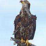 9269 Juvenile Bald Eagle, Homer, Alaska