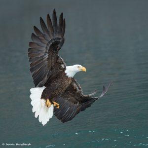9271 Bald Eagle, Homer, Alaska
