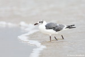 9265 Franklin's Gull (Leucophaeus pipixcan), Bolivar Peninsula, Texas