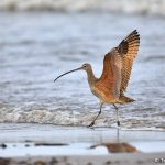 9263 Long-billed Curlew (Numenius americanus), Bolivar Peninsula, Texas